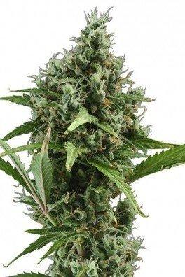 Amnesia Haze Autofloraison (Zativo Seeds)