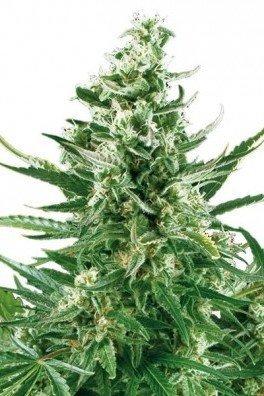 Critical Autofloraison (Zativo Seeds)