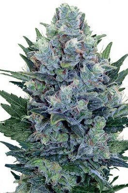Blue Cheese Autofloraison (Zativo Seeds)