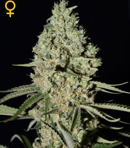 Super Critical (Greenhouse Seeds)