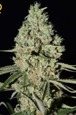Super Critical (Greenhouse Seeds)