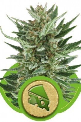 Royal Cheese Automatic (Royal Queen Seeds)
