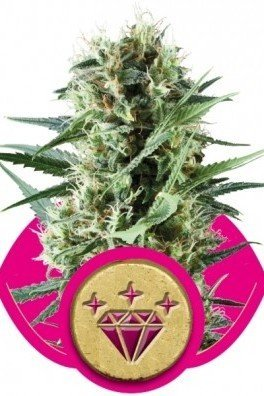 Special Kush 1 (Royal Queen Seeds)