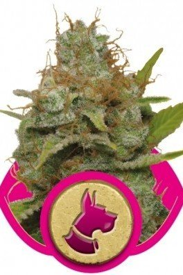 Kali Dog (Royal Queen Seeds)