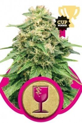Critical (Royal Queen Seeds)