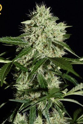 Northern Lights Autoflowering (Greenhouse Seeds)