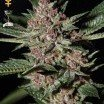 Bubba Kush (Greenhouse Seeds)