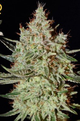 K-Train (Greenhouse Seeds)