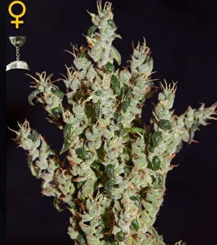 NL5 Haze Mist (Greenhouse Seeds)