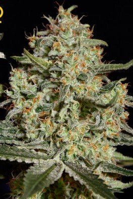 Big Bang (Greenhouse Seeds)