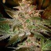 Pure Kush (Greenhouse Seeds)