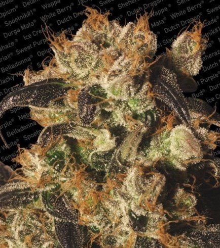 White Berry (Paradise Seeds)
