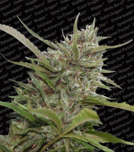 Auto Whiteberry (Paradise Seeds)