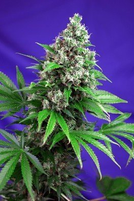 Killer Kush F1 Fast Version (Sweet Seeds)