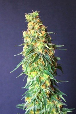 White Domina CBD (Kannabia)