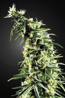 Hawaiian Snow (Greenhouse Seeds)