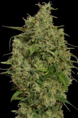 Sweet Tooth (Barney's Farm)
