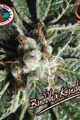 Buddha Kush OG (Big Buddha Seeds)