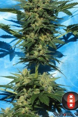 Autoflowering White Russian 1 (Serious Seeds)