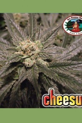 Cheesus (Big Buddha Seeds)