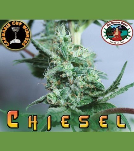 Chiesel (Big Buddha Seeds)