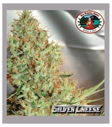 Silver Cheese (Big Buddha Seeds)