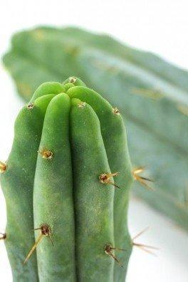 Cactus Torche Bolivienne
