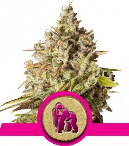 Royal Gorilla (Royal Queen Seeds)