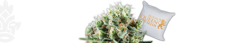 Critical Kush (Royal Queen Seeds)