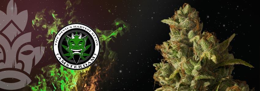 ROLLEX OG KUSH—23% THC