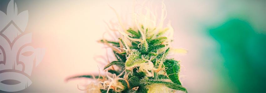 Les Variétés De Cannabis Riches En Cbd