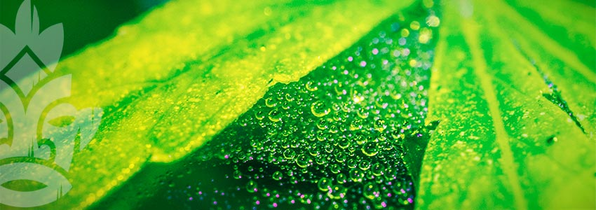 Comment Fonctionne L'huile De Neem En Tant Qu'insecticide Organique ?