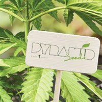 Consulter le catalogue complet de Pyramid Seeds