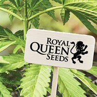 Consulter le catalogue complet de Royal Queen Seeds