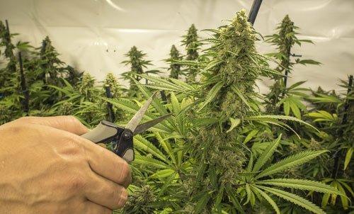 Top 10 des erreurs de d butant dans la culture du cannabis for Engrais floraison cannabis exterieur