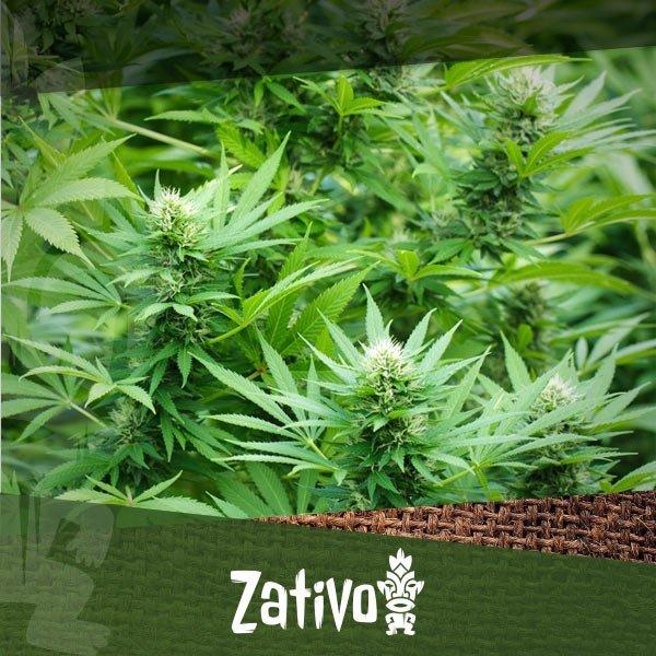 comment cultiver avec la technique sea of green sog zativo