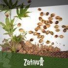 7 Avantages des graines de cannabis sur les clones