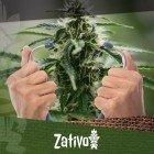 Comment Vérifier La Santé De Vos Plants De Cannabis