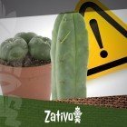 Cactus à Mescaline - Avertissement