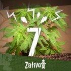 7 Causes De Stress Pour Les Plants De Cannabis