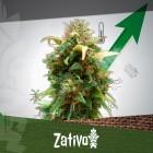 11 Conseils Pour Plus De Récoltes De Cannabis