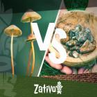 La différence entre champignon hallucinogènes et truffes magiques