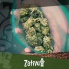 Créez une super herbe avec un plant de cannabis mâle