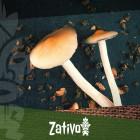 Microdosage des champignons magiques et des truffes