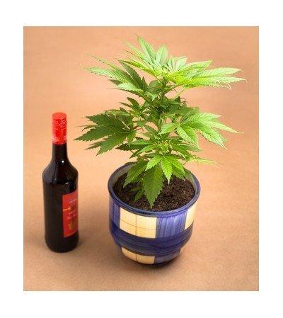 Nouvelle étude : consommer de l'alcool avant le cannabis augmente les concentrations en THC dans le sang