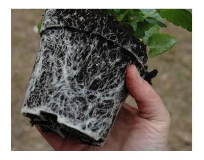 Comment gérer les plants aux racines bloquées