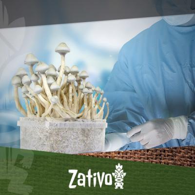 Champignons Magiques – Comment Travailler Stérilement
