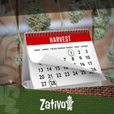 Comment Récolter du Cannabis 6-7 Fois Par An