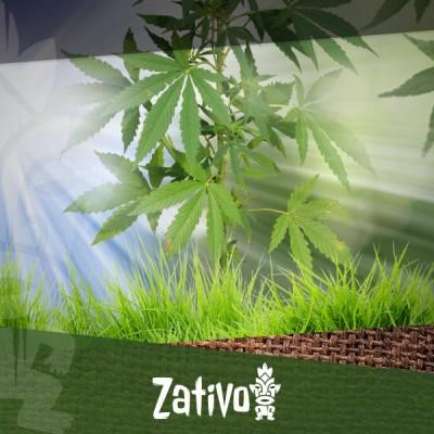 Comment Lancer Votre Culture De Cannabis En Extérieur