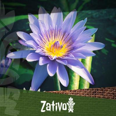 Lotus Bleu (Nymphaea caerulea)